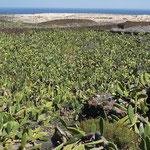 Les cactus constituent la source de nourriture des cochenilles parasites