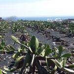 Les cactus ont été introduits aux Canaries en provenance du Mexique