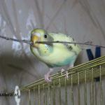 автор Уляшев Алексей. 1-2 м. в группе декоративных птиц