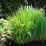 Iris pseudacorus macht sich schnell breit im Teich