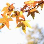 Das Laub des Amberbaumes