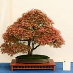 Ahorn Acer palmatum