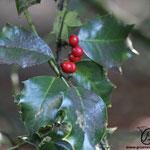 Ilex aquifolium Blätter und Früchte