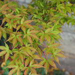 Blätter von A. palmatum