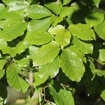 Die Blätter von Fagus sylvatica
