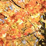 Liquidambar styraciflua Herbstfärbung