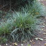 Der Wuchs von Carex ist horstartig