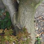 der Stamm von A. palmatum