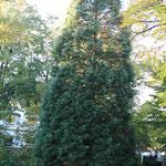 Habistus von sequoiadendron