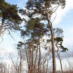 Pinus sylvestris wie sie im Wald wachsen