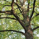 Blick in die Krone einer alten Baumhasel