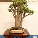 Den Pfennigblattbaum sieht man selten auf Austellungen