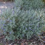 Habitus des blaublühenden Mini Flieder