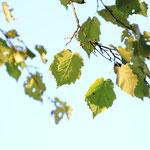 Blätter der Baumhasel