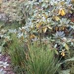 Sorte 'Moorhexe' vor Rhododendron
