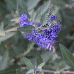 Die Blüte von Buddleja `Blue chip`
