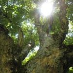 Der selbe Baum - sonnendurchflutet...
