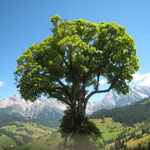 Wirkt fast unwirklich - ist aber keine Fotomontage! Genau so sah der Baum aus