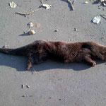 Otterrüde, typisch durch verrohrten Graben, über die Strasse gewechselt