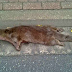 OtterFähe zu allem Überfluß auch noch trächtig