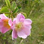 Eglantier en fleurs (Auvergne)