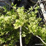 Gaillet grateron  (parc naturel de Donana Andalousie)