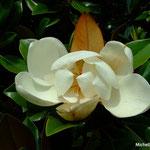 Magnolia (Seine et marne)