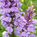Orchis de Fuchs (Auvergne)