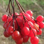 Fruit de la viorne obier (Seine et marne)