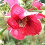 Rose trémière (Althaea rosea)  (Seine et marne)