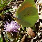Centaurée pectinée (Ardèche)