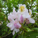 Rhododendron (Giverny)