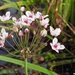 Jonc fleuri ou butome en ombelle (parc de Noisiel zone humide)