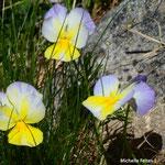 Pensées tricolores, herbe de la Trinité (Mercantour)