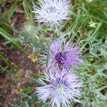 Galactite élégante en fleurs (Madère)