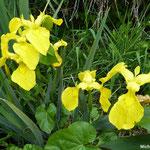 Iris des marais (La Brière)