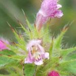 Galeopsis bifide détail (Auvergne)