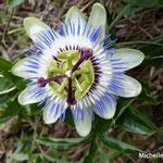 Fleur de la Passion (Corse)