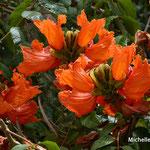 Tulipier du Gabon (Madère)