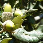 Chêne vert (Corse)
