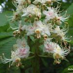 fleurs de marronier (Seine et marne)