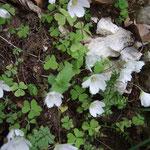 Oxalis petite oseille (Jura)