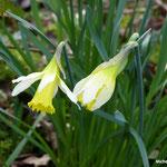 Jonquilles sauvages ou narcisses jaunes  (Seine et marne)