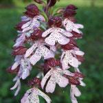 Orchis brûlé (Morvan)