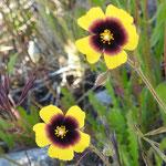 Halimium  Sarah  (parc naturel de Donana Andalousie)