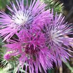 Galactite tomenteuse en fleurs (Corfou)