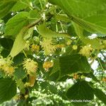 fleurs de tilleul (Auvergne)