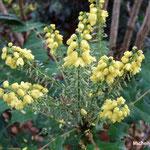 Mahonia ou vigne de l'Oregon (Seine et marne)