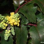 Mahonia à feuilles de houx (Seine et marne)