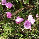 Liserons fausse guimauve  (parc naturel de Donana Andalousie)